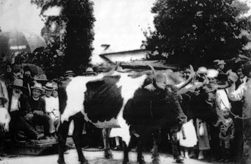 Oxen pulling Father Vanicek and Tom Hruska